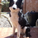 Argi (Border Collie)