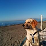 Leo (Golden Retriever)