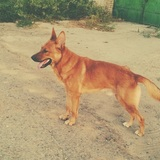Dakota (Perro Lobo De Saarlos)