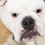 Bernie (Bulldog Anglais)