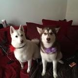 Kiki And Snow (Siberian Husky)