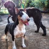 Neka (Bull Terrier)