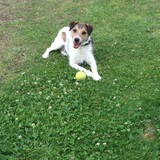 Pancho (Parson Russell Terrier)