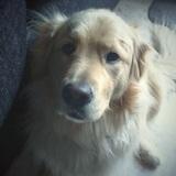 Rocky (Golden Retriever)