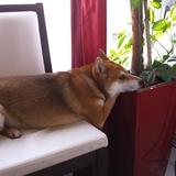 Yoshi (Shiba)