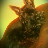 Nowy (Scottish Terrier)