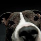 Zimbl (Amerkanischer Staffordshire Terrier)