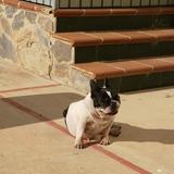 Kira - Bulldog Francés