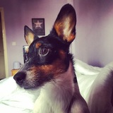 Penny  (Jack Russell Terrier)