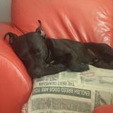 Bull (Staffordshire Bull Terrier)