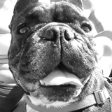 Che Guevara (Bulldog Francés)