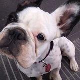 Juanita (Bulldog Francés)
