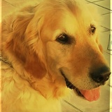 Jairo (Golden Retriever)