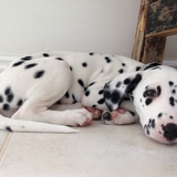 Roxie (Dalmatian)
