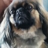 Cookie ( Pekinese)