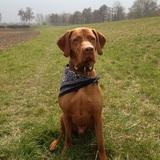 Cooper (Kurzhaariger Ungarischer Vorstehhund)