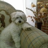 Jessi (Amerkanischer Staffordshire Terrier)