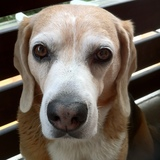 Texas (Beagle Harrier)