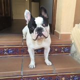 Axl - Bulldog Francés