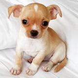 Pearla (Chihuahua)