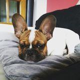Coco - Bulldog Francés