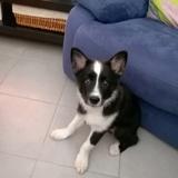 Loki (Chien De Berger Islandais)