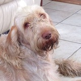 Gina  (Spinone Italiano)