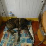 Zar (Bulldog Español)