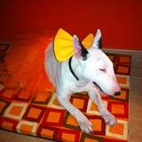 koga - Bull Terrier