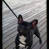 Luna  (Bulldog Francés)