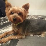Txispa (Yorkshire Terrier)