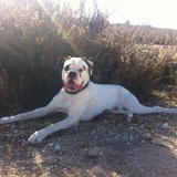 Rocky (Boxer)