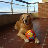 Kairo (Golden Retriever)