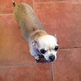 Tití - Chihuahua