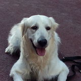 Danko (Golden Retriever)