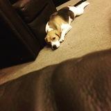 Jax (Beagle)