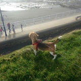 Jude (Beagle)