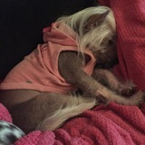 Princess  (Chinese Crested Dog)