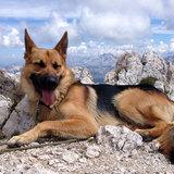 Taro (Deutscher Schäferhund)