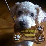 Teddy (Caniche)