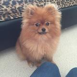 Teddy (Pomeranian)