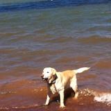 Babouche (Labrador Retriever)