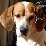 Tabu (Beagle Harrier)