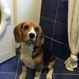 Chico - Beagle