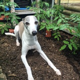 Harvey (Whippet)