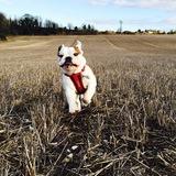 Manuel  (English Bulldog)