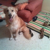 Yuli (Golden Retriever)