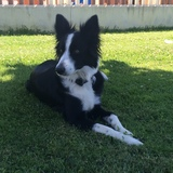Nala (Border Collie)