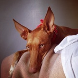 Happy Gilmore (Podenco Andaluz)