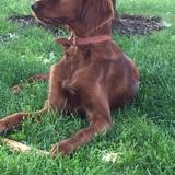 Luca (Setter Irlandés Rojo)